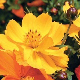 Cosmic Yellow Cosmos Flower Seeds