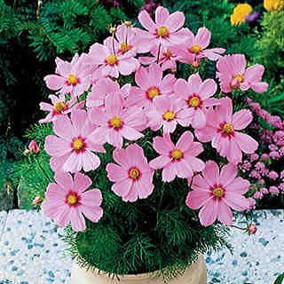 Sonata Pink Blush Cosmos Flower Seeds