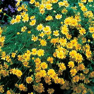Dahlberg Daisy Seeds From Park Seed