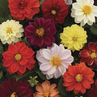 Figaro Mix Dahlia Seeds