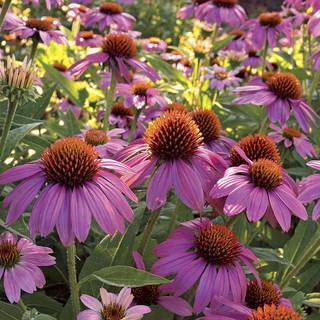 how to grow echinacea from seed uk