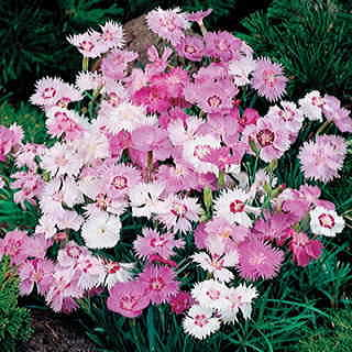 Sweetness Dianthus Seeds