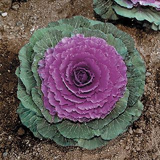 Color Up Purple Hybrid Ornamental Cabbage Seeds