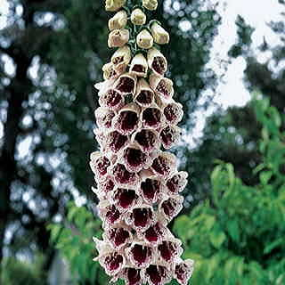 Pams Choice Foxglove Seeds