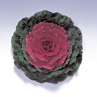 Color Up Red Hybrid Ornamental Cabbage Seeds