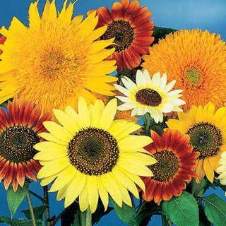 Van Gogh Mix Sunflower Seeds