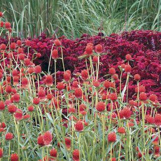 'Strawberry Fields' Gomphrena Seeds Image