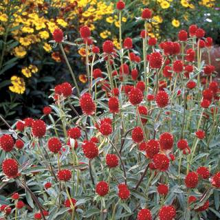 Strawberry Fields Gomphrena Seeds