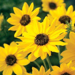 Sunny Babe Sunflower Seeds