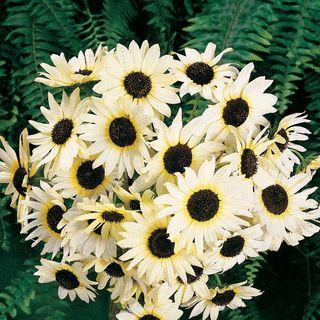 Italian White Sunflower Seeds