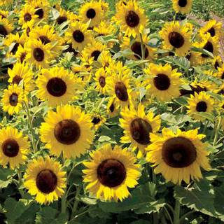 Sunspot Sunflower Seeds