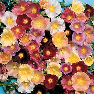 Happy Lights Hollyhock Mix Seeds