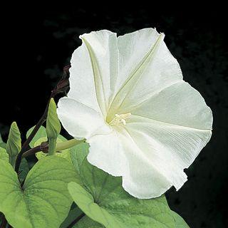 Moonflower Plant Vine Seeds