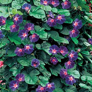 Star of Yelta Morning Glory Flower Seeds