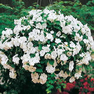 Accent White Hybrid Impatiens Flower Seeds
