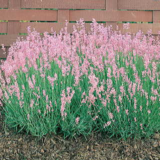 Rosea Lavender Seeds