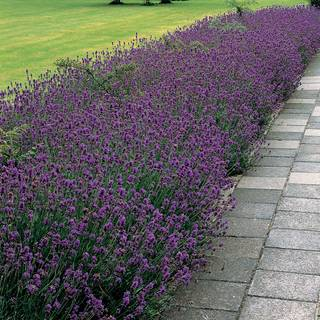 Munstead Lavender Seeds