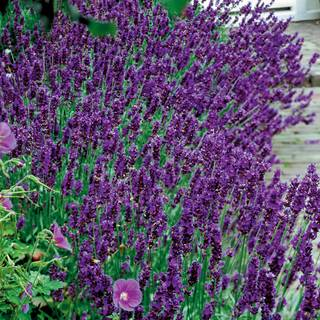 hidcote blue lavender seeds. Black Bedroom Furniture Sets. Home Design Ideas