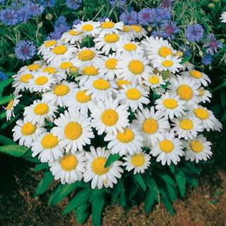 Snow Lady Shasta Daisy Seeds