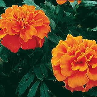 Janie Deep Orange Marigold Seeds