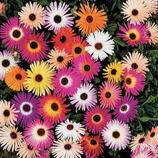Harlequin Mix Livingstone Daisy Seeds