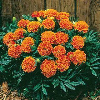 Janie Flame Marigold Seeds