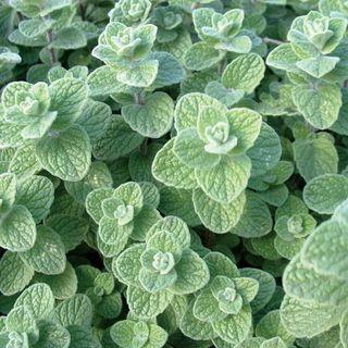 Zaatar Marjoram Seeds