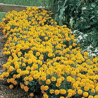 Janie Primrose Yellow Marigold Seeds