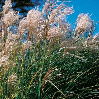 New Hybrids Fountain Grass Seeds