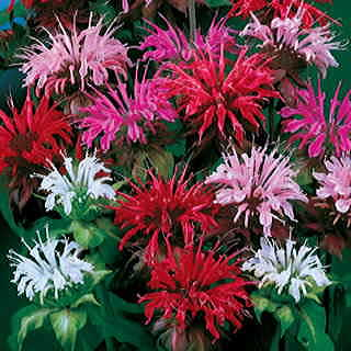 Panorama Mix Bee Balm Seeds