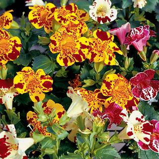 Magic Blotch Mix Monkey Flower Seeds From Park Seed