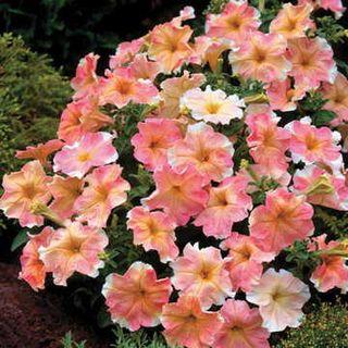 Dolcissima Flambe Petunia Seeds