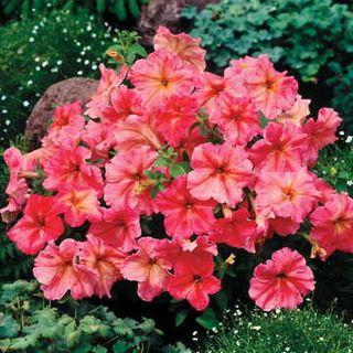 Petunia Dolcissima Fragolino Petunia Seeds