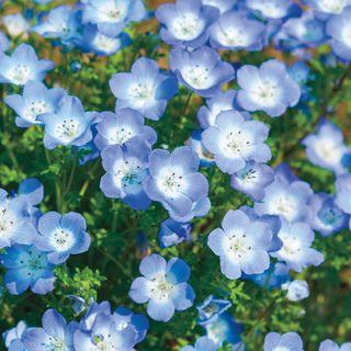 Baby Blue Eyes Seeds