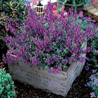 Serena™ Purple Angelonia Seeds