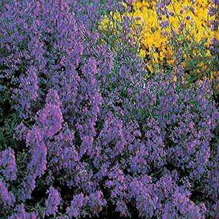 Blue Carpet Catmint Seeds
