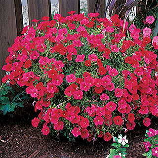 Easy Wave® Red Hybrid Petunia Seeds