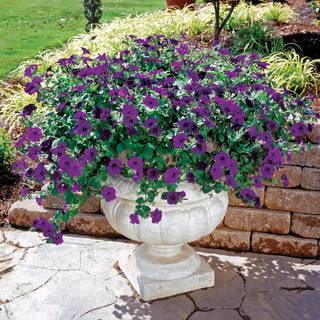 Wave® Blue Hybrid Petunia Seeds