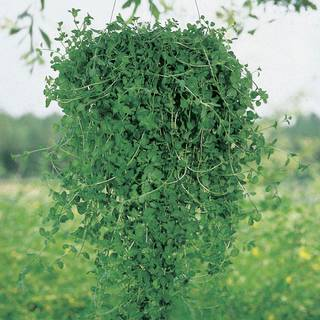 Pennyroyal Seeds