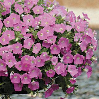 Wave® Pink Hybrid Petunia Seeds