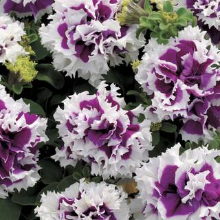 Purple Pirouette Petunia Seeds