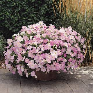 Wave® Misty Lilac Hybrid Petunia Seeds