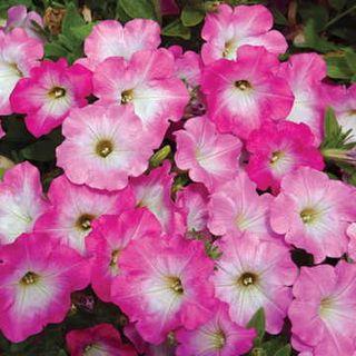 Opera Supreme Pink Morn Petunia Seeds