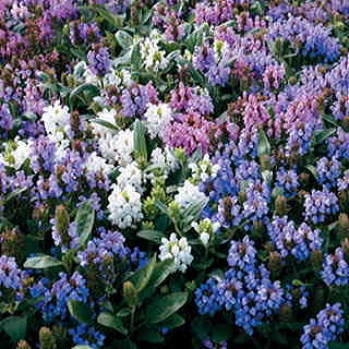 Freelander Mix Prunella Flower Seeds