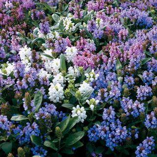 Freelander Mix Prunella Flower Seeds