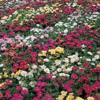 Sundial Mix Hybrid Moss Rose Seeds Image