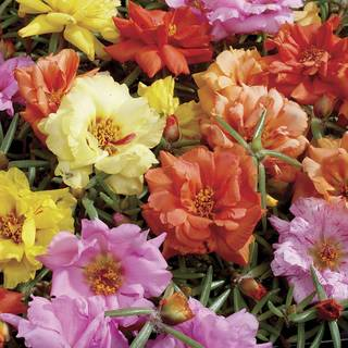 Sundial Hybrid Mix Moss Rose Seeds