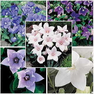 Astra Mix Balloon Flower Seeds