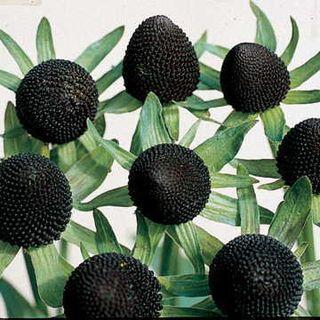 Green Wizard Rudbeckia Seeds