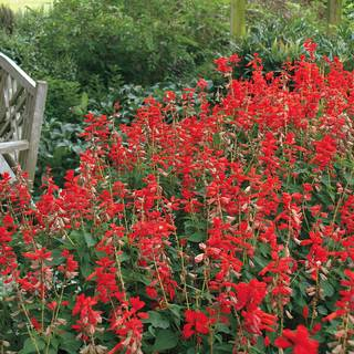 Parks Whopper Lighthouse Salvia Seeds
